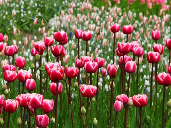 Bulbes à floraison printanière