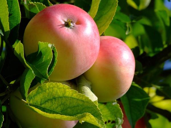 Fruitiers et petits fruits