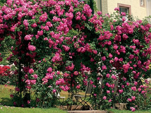 Rosa liane
