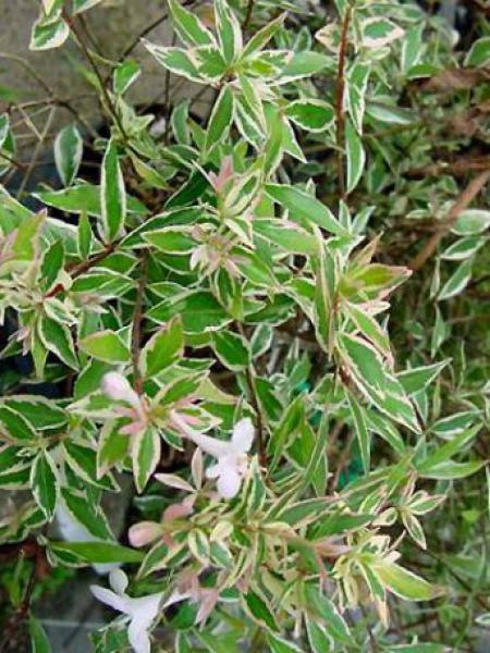 Abélia à grandes fleurs 'Confetti'