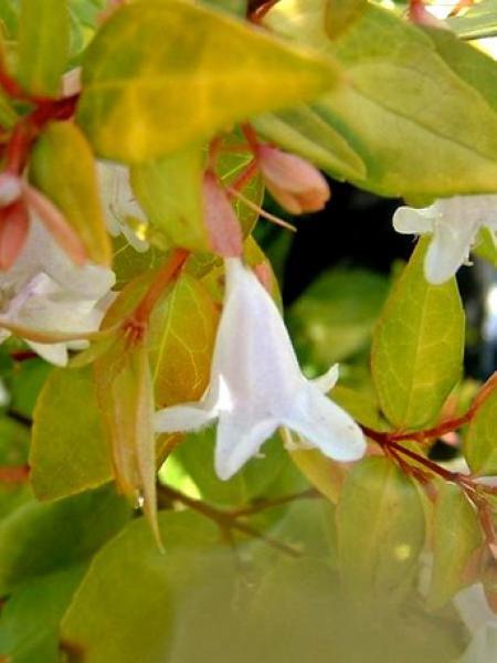 Abélia à grandes fleurs 'Francis Mason'