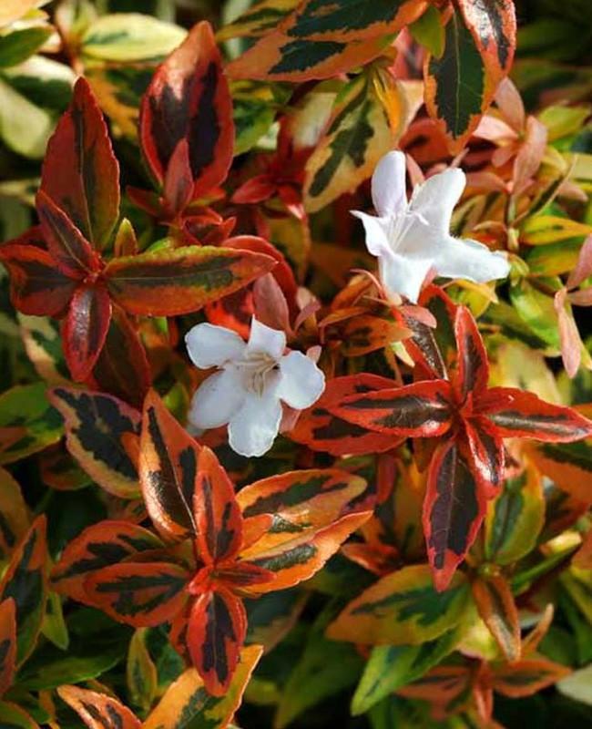 Abélia à Grandes Fleurs Kaleidoscope Abelia Grandiflora Le