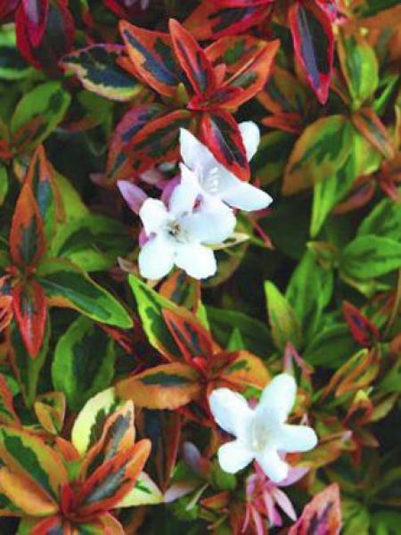 Abélia à grandes fleurs 'Kaleidoscope'