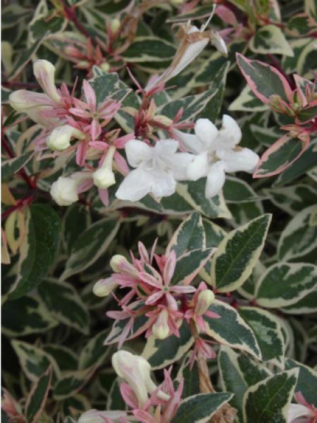 Abélia à grandes fleurs 'Panaché'