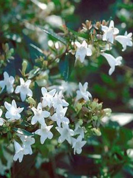 Abélia à grandes fleurs 'Prostrata'
