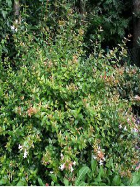Abélia à grandes fleurs 'Sherwood'