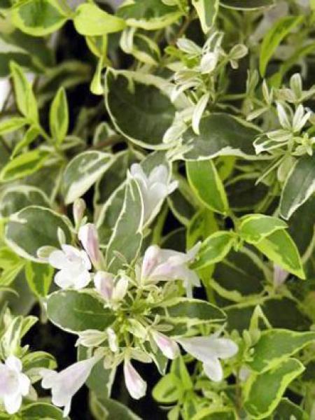 Abélia panaché 'Hopley'®
