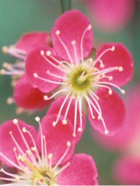Abricotier du Japon 'Beni Chidori'
