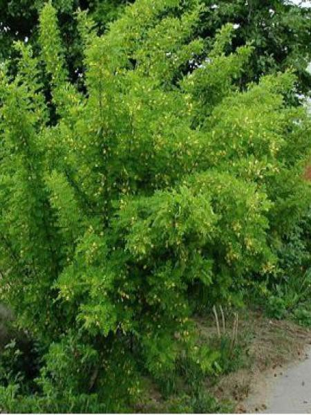 Acacia jaune, Caraganier de Sibérie