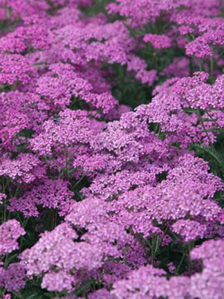 Achillée millefeuille 'Lilac Beauty'