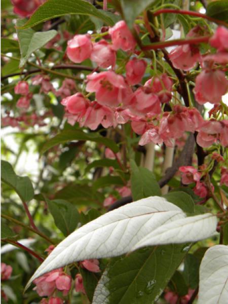kiwi d 39 ornement actinidia pilosula le jardin du pic vert. Black Bedroom Furniture Sets. Home Design Ideas