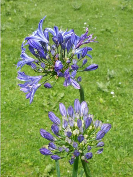 Agapanthe 'Bluety'