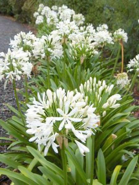 Agapanthe 'Headbourne hybrids white'