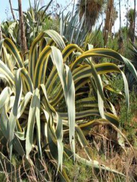 Agave à feuilles panachées
