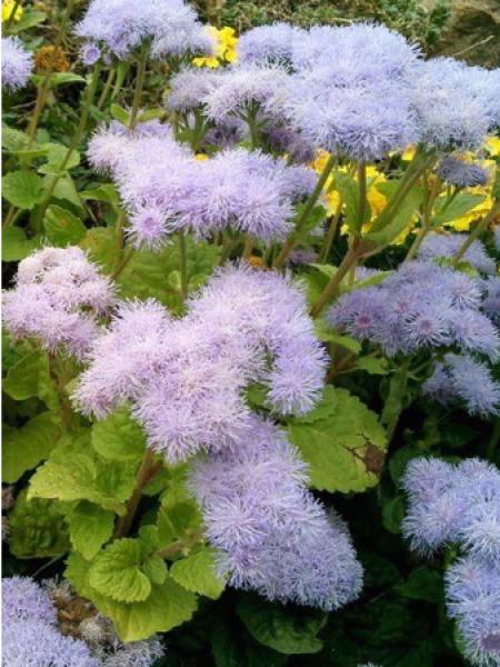 Agérate 'Impérial bleu' - Ageratum mexicanum - Le Jardin du Pic Vert