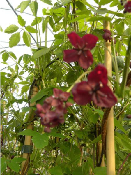 Akébie pentaphylla, vigne chocolat