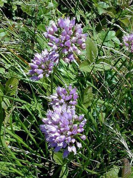 Allium senescens montanum