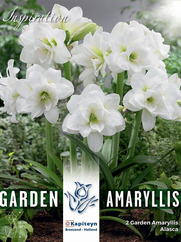 Amaryllis 'Alasca'