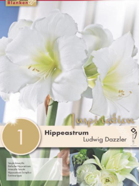 Amaryllis belladonna 'Ludwig Dazzler'