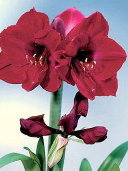 Amaryllis belladonne 'Benfica'