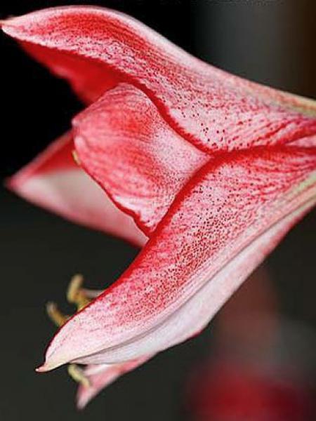 Amaryllis belladonne 'Charisma'
