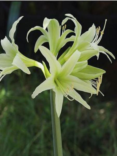 Amaryllis belladonne 'Evergreen'