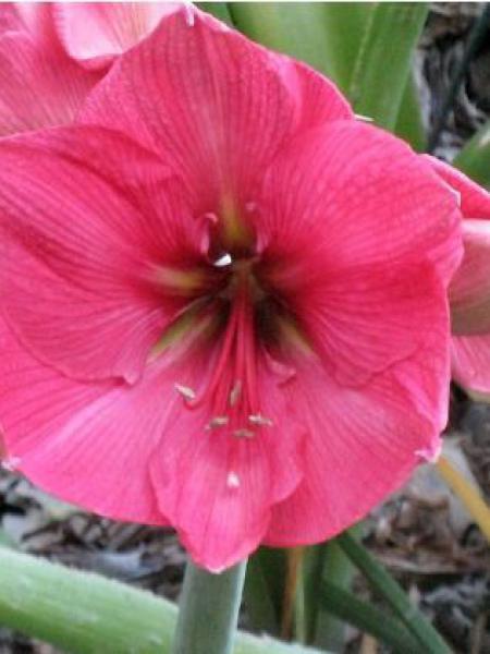 Amaryllis belladonne 'Hercules'