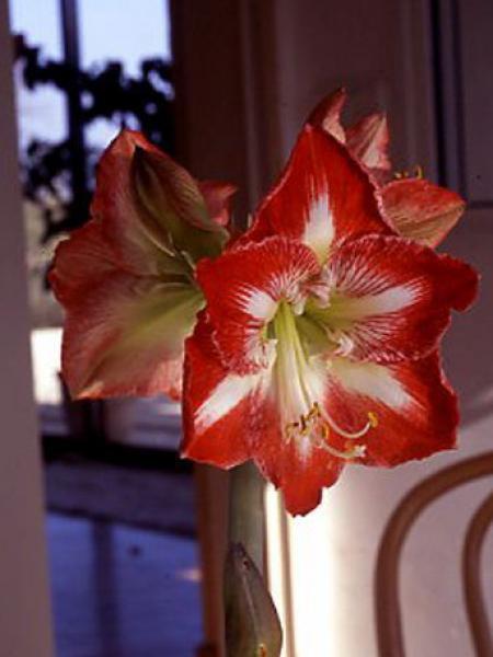 Amaryllis belladonne 'Minerve'
