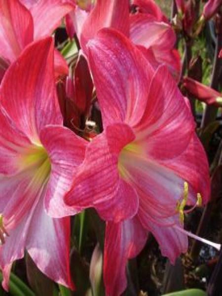 Amaryllis belladonne 'Neon'