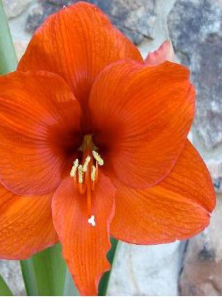 Amaryllis belladonne 'Orange Souvereign'