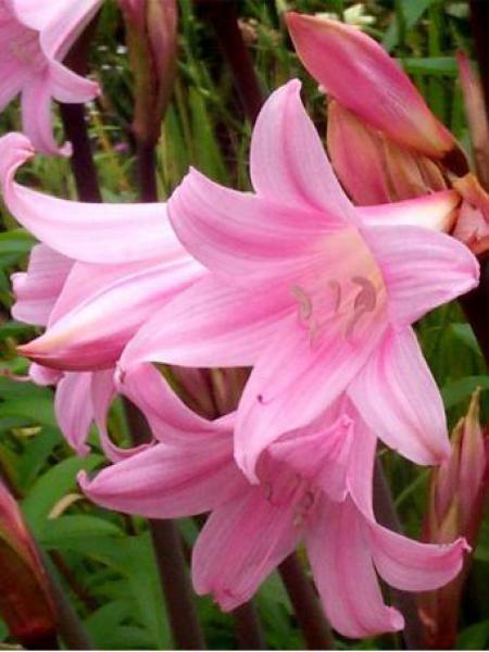 Amaryllis belladonne