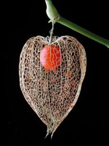 Amour en cage 'Franchetii'