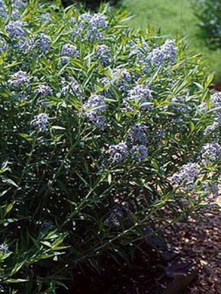 Amsonie tabernaemontana 'Salicifolia'