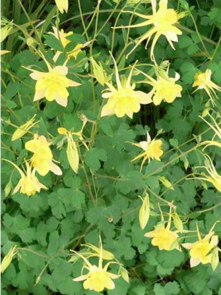 Ancolie à fleurs jaunes