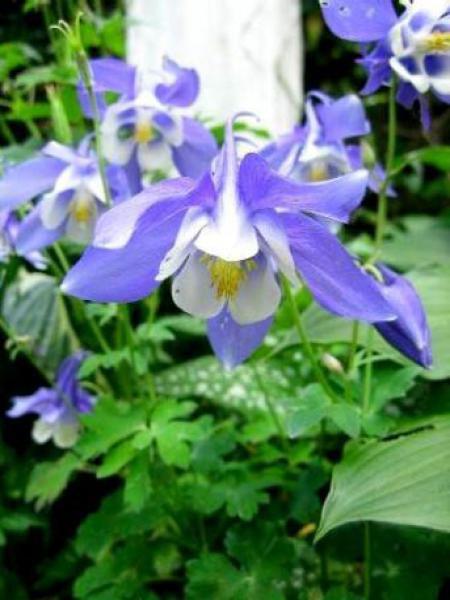 Ancolie 'Bleu Star'