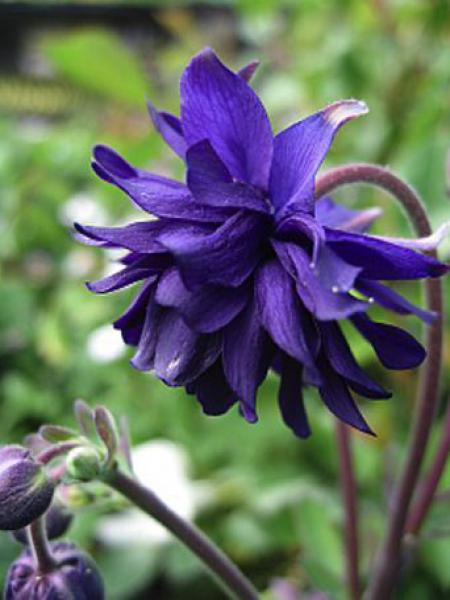 Ancolie des jardins 'Blue Barlow'
