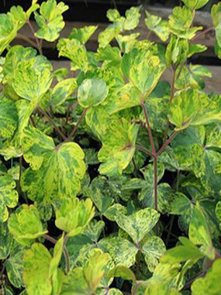 Ancolie des jardins 'Leprechaun Gold'