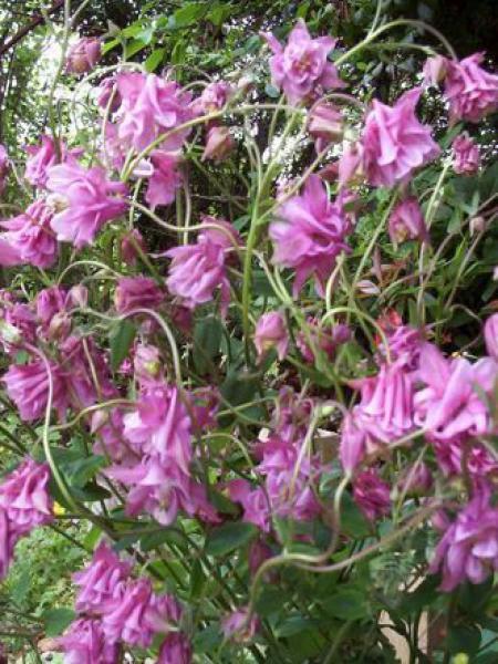Ancolie des jardins 'Nora Barlow'