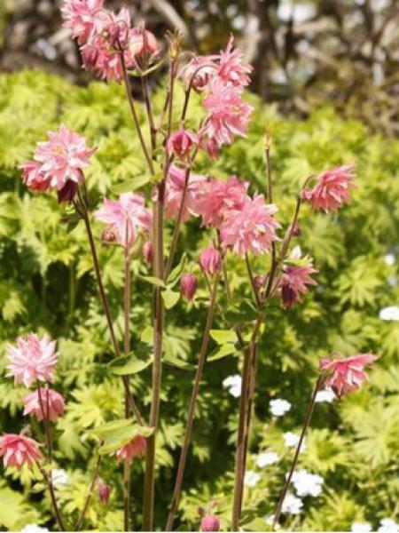 Ancolie des jardins 'Rose barlow'