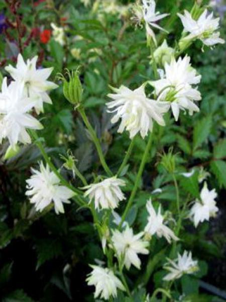 Ancolie des jardins 'White Barlow'