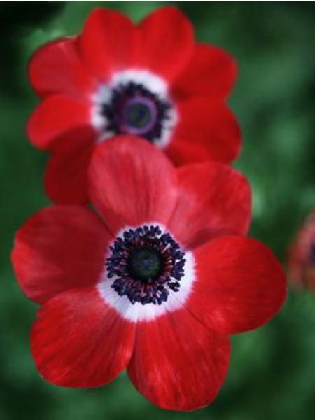 Anémone de Caen, Anémone des fleuristes 'Hollandia'