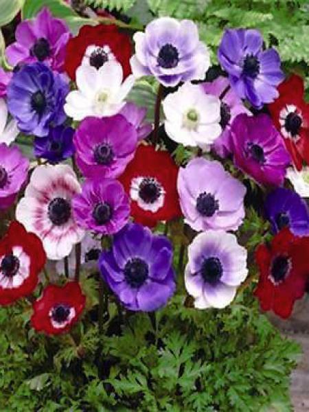an mone de caen an mone des fleuristes 39 simples de caen 39 anemone coronaria le jardin du pic. Black Bedroom Furniture Sets. Home Design Ideas