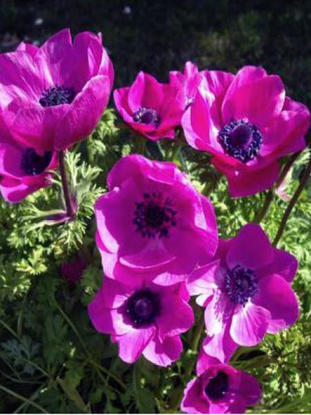 Anémone de Caen, Anémone des fleuristes 'Sylphide'