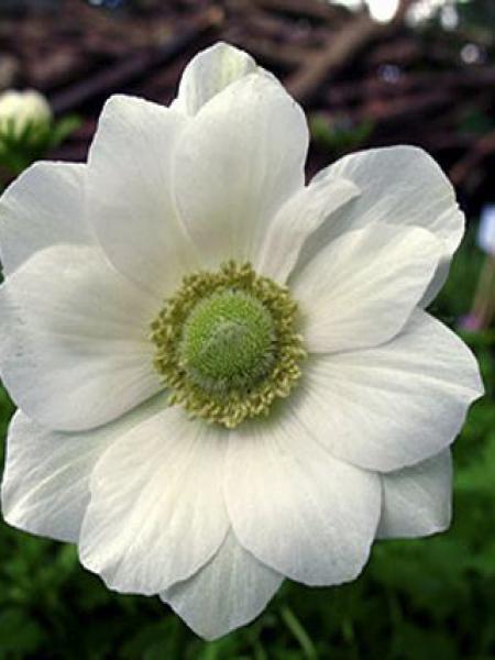 Anémone de Caen, Anémone des fleuristes 'The Bride'