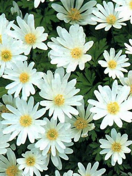 Anémone de Grèce 'White Splendour'
