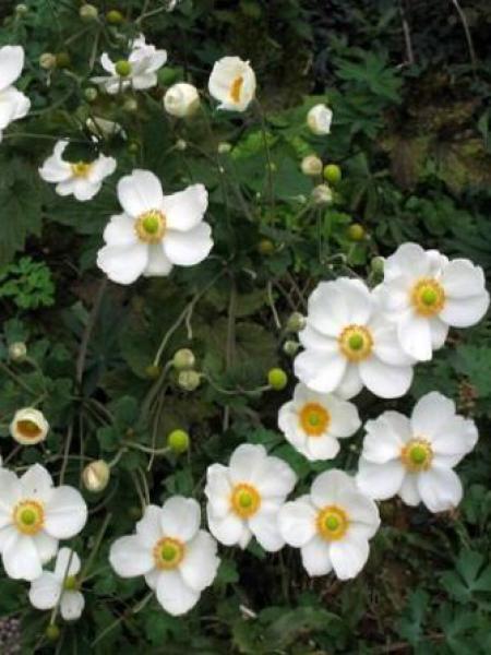 Anémone du Japon 'Andrea Atkinson'
