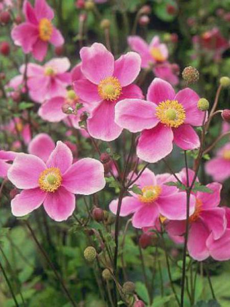 Anémone du Japon 'Hadspen Abundance'