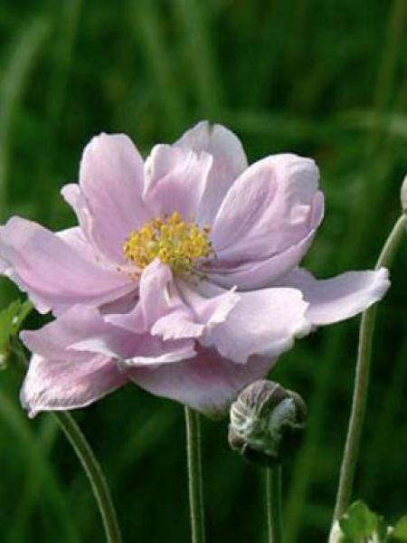 Anémone du Japon 'Mont Rose'