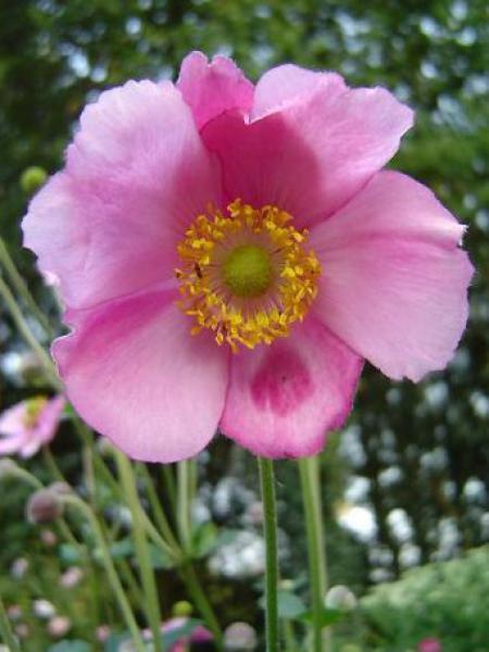 Anémone du Japon 'Rosenschale'
