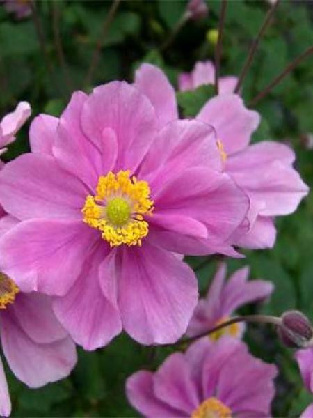 Anémone du Japon tomentosa 'Serenade'